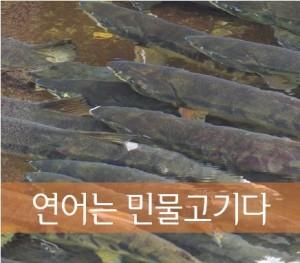 연어 민물고기